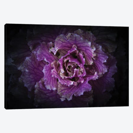Flowering Cabbage II Canvas Print #BCS41} by Brian Carson Canvas Art
