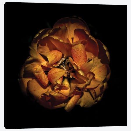 Orange Peony Canvas Print #BCS44} by Brian Carson Canvas Print