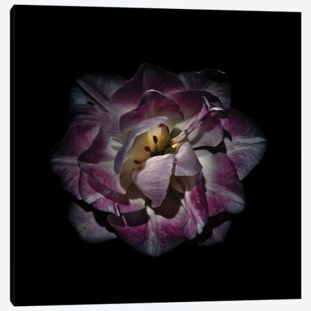 Purple and White Peony Canvas Print #BCS50} by Brian Carson Canvas Art Print