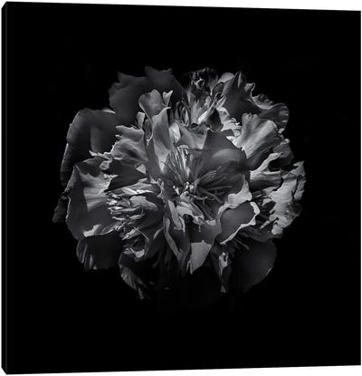 Black And White Camelia Canvas Art Print