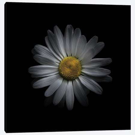 White Daisy V Canvas Print #BCS62} by Brian Carson Canvas Wall Art