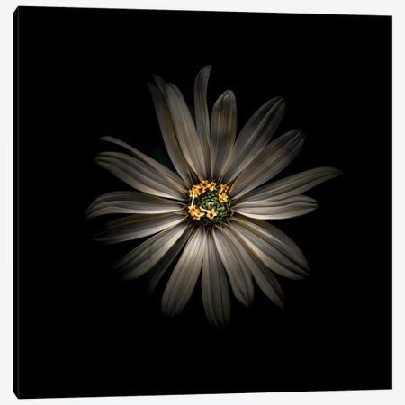 White Daisy VI Canvas Print #BCS63} by Brian Carson Canvas Artwork