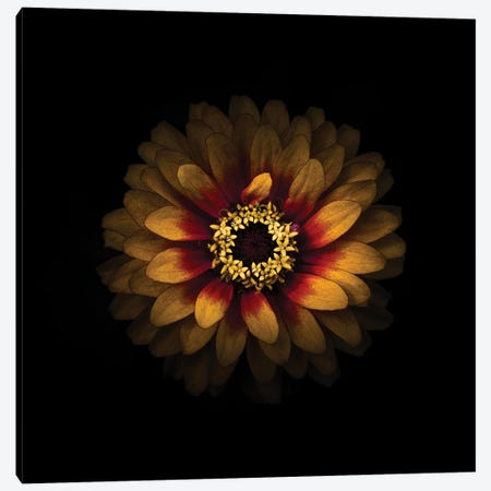 Yellow and Red Zinnia Canvas Print #BCS72} by Brian Carson Canvas Print