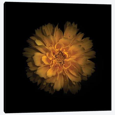 Yellow Dahlia Canvas Print #BCS78} by Brian Carson Canvas Print