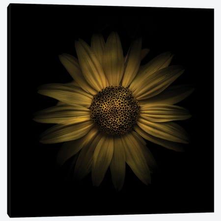 Yellow Daisy I Canvas Print #BCS79} by Brian Carson Art Print