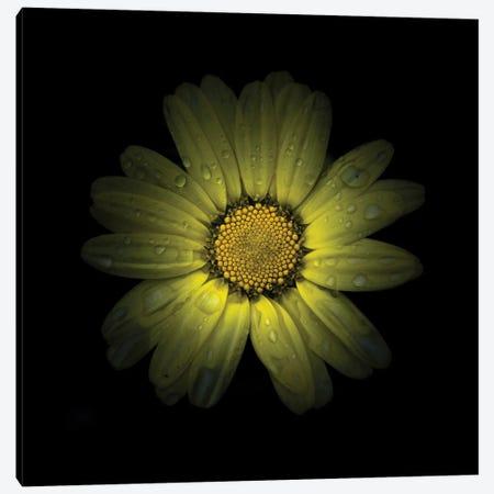 Yellow Daisy II Canvas Print #BCS80} by Brian Carson Canvas Wall Art