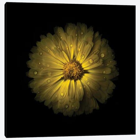 Yellow Daisy Mum Canvas Print #BCS81} by Brian Carson Canvas Art