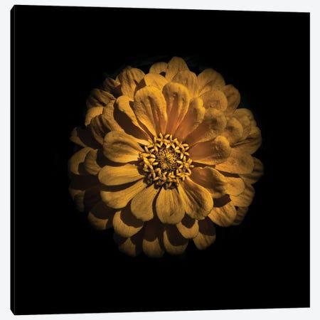 Yellow Zinnia Canvas Print #BCS84} by Brian Carson Canvas Art Print