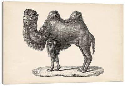 Brodtmann Camel Canvas Art Print