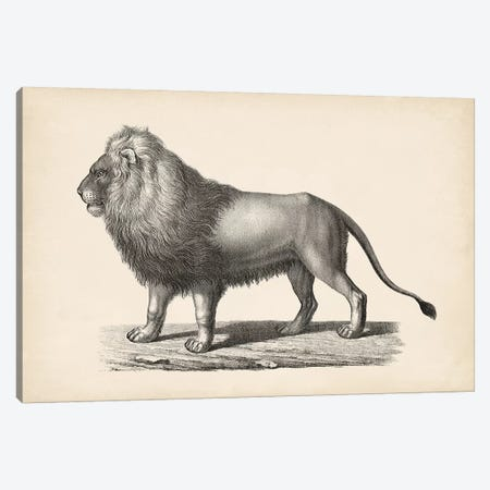 Brodtmann Lion Canvas Print #BDT6} by Brodtmann Canvas Art