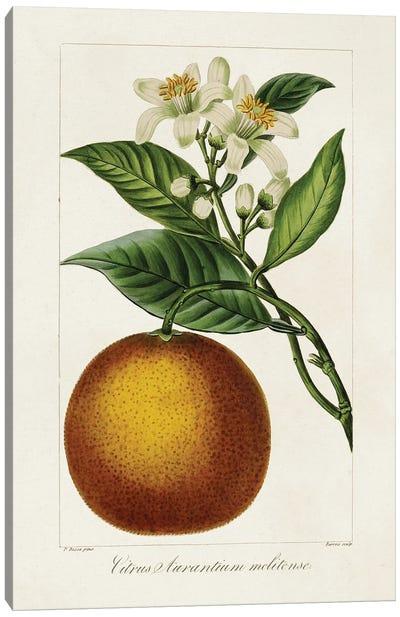 Antique Citrus Fruit I Canvas Art Print