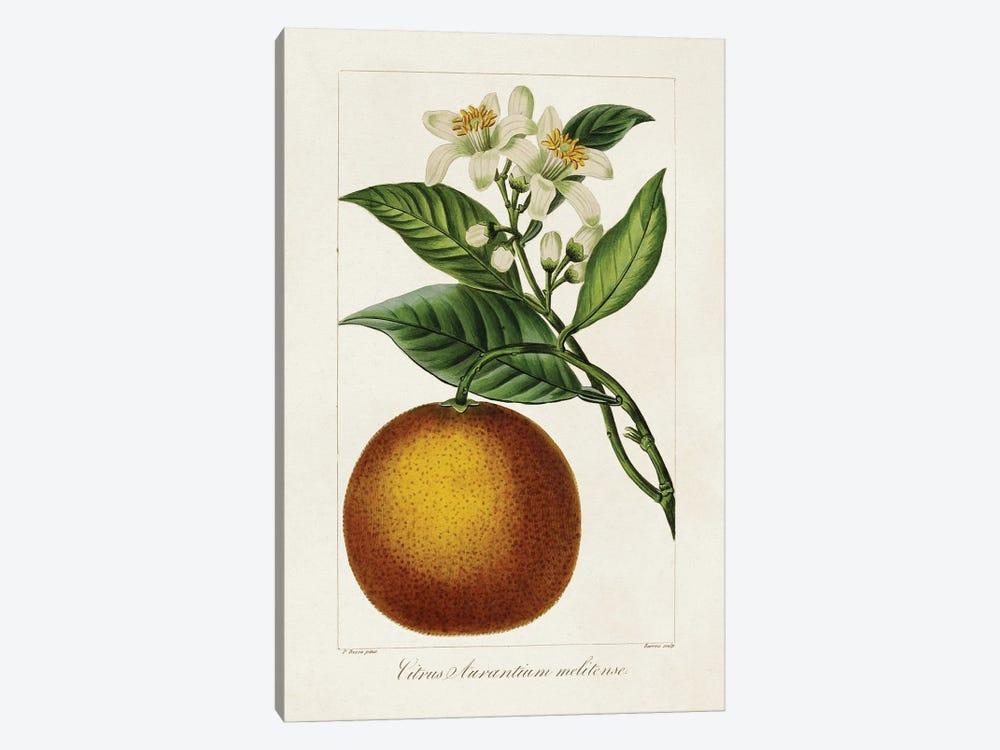 Antique Citrus Fruit I by Pancrace Bessa 1-piece Canvas Art