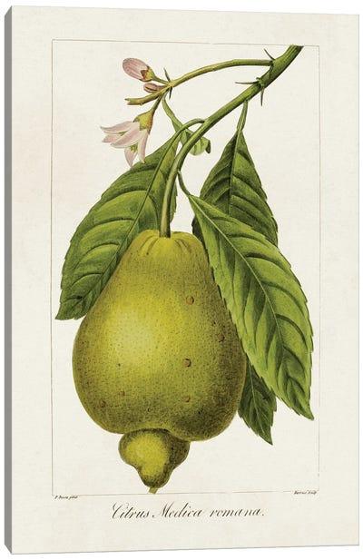 Antique Citrus Fruit III Canvas Art Print