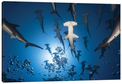 Hammerhead Shark Canvas Art Print
