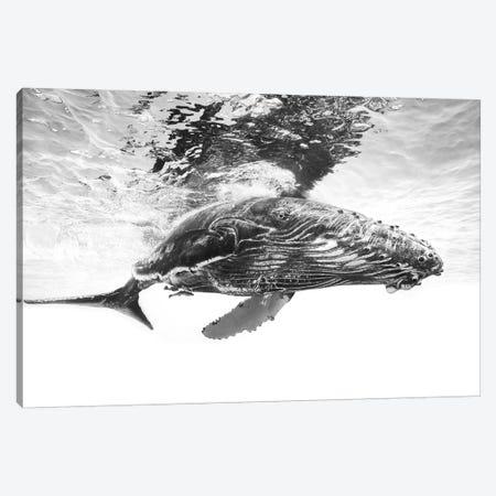 Humpback Whale Calf Canvas Print #BGA13} by Barathieu Gabriel Canvas Art