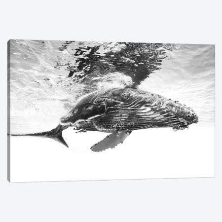 Humpback Whale Calf Canvas Print #BGA13} by Barathieu Gabriel Canvas Art