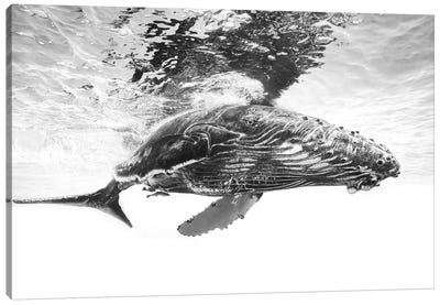 Humpback Whale Calf Canvas Art Print