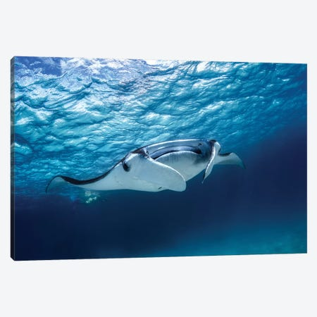 Manta Ray Canvas Print #BGA15} by Barathieu Gabriel Canvas Print