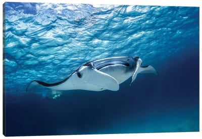Manta Ray Canvas Art Print