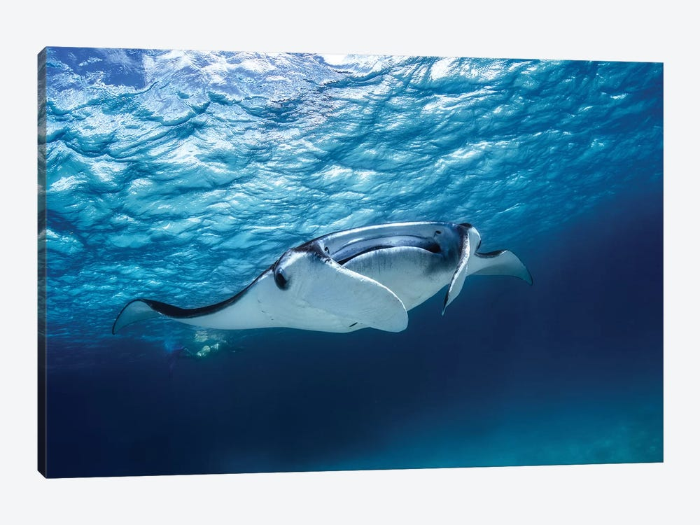 Manta Ray 1-piece Canvas Print