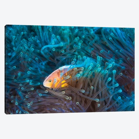 Skunk Clownfish Canvas Print #BGA25} by Barathieu Gabriel Canvas Wall Art
