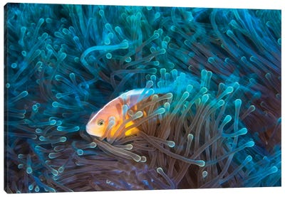 Skunk Clownfish Canvas Art Print