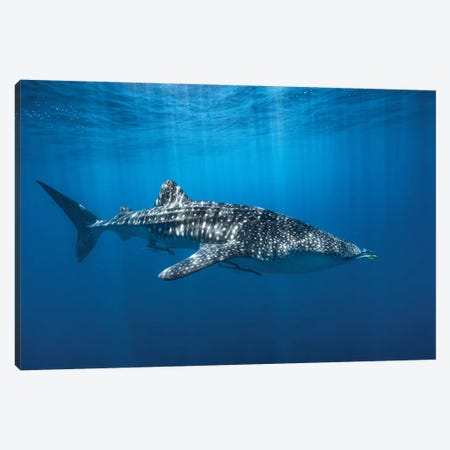 Whale Shark In The Blue Canvas Print #BGA28} by Barathieu Gabriel Canvas Art Print