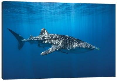 Whale Shark In The Blue Canvas Art Print
