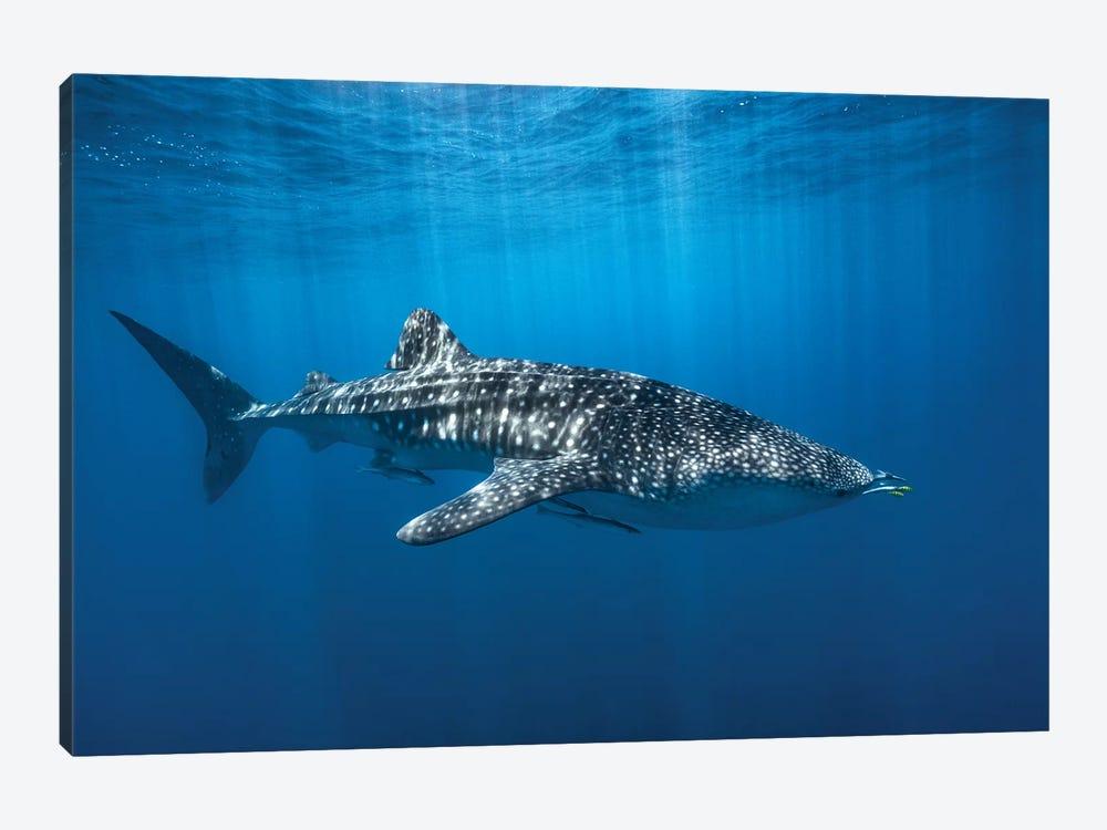 Whale Shark In The Blue by Barathieu Gabriel 1-piece Canvas Art Print