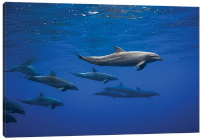 Dolphins Canvas Art Print