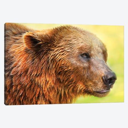 Cute Bear II Canvas Print #BHE274} by Ben Heine Canvas Print
