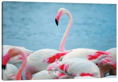 Flamingos II Canvas Art Print