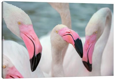 Flamingos IV Canvas Art Print