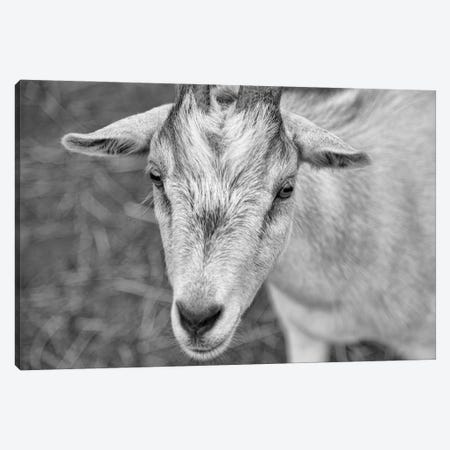 You Goat Me Canvas Print #BHT33} by Beth Houts Canvas Print
