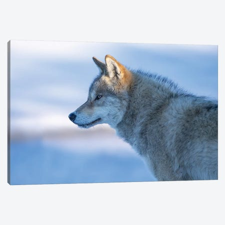 A Vigilant Wolf Canvas Print #BIZ6} by Bingo Z Canvas Print