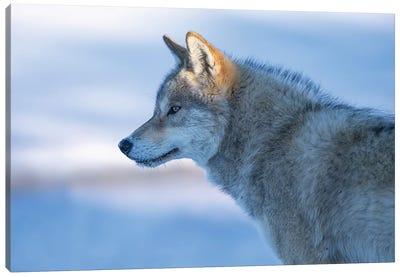 A Vigilant Wolf Canvas Art Print