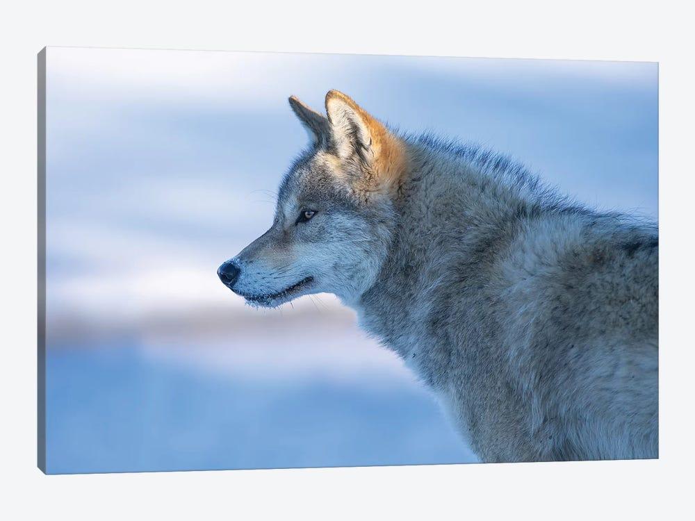 A Vigilant Wolf by Bingo Z 1-piece Canvas Art Print