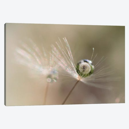 Star Of Dandelion 3-Piece Canvas #BKU1} by bertrand kulik Canvas Art Print