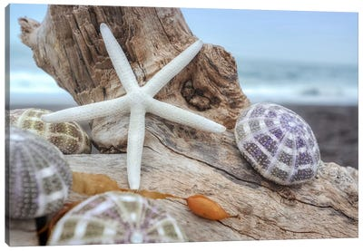 Crescent Beach Shells VII Canvas Art Print
