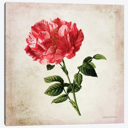 Vintage Bicolor Red Rose Canvas Print #BLB243} by Bluebird Barn Canvas Wall Art