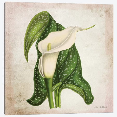 Vintage Calla Lily Canvas Print #BLB244} by Bluebird Barn Canvas Art Print