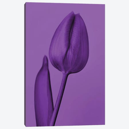 One Tulip In Purple Canvas Print #BLI118} by Beli Canvas Print