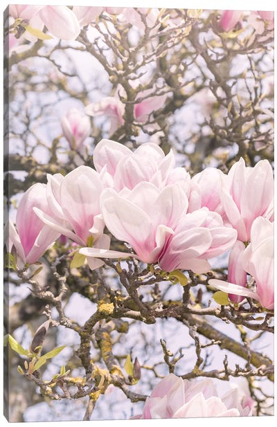 Blooming Magnolia In Montmartre Paris Canvas Art Print