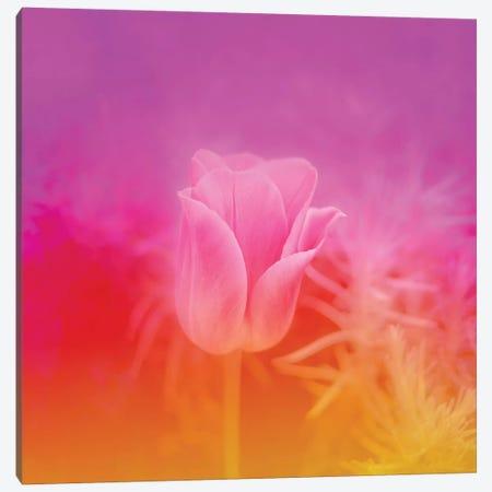 Pinky Tulip Canvas Print #BLI74} by Beli Canvas Artwork