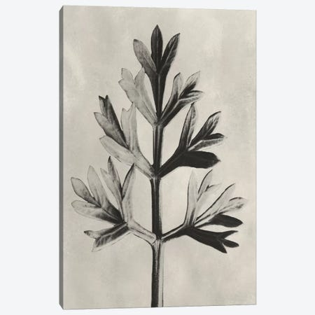 Blossfeldt Botanical I Canvas Print #BLS1} by Karl Blossfeldt Canvas Art