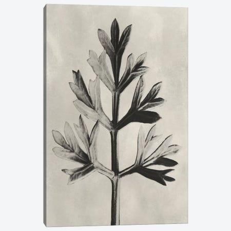 Blossfeldt Botanical I Canvas Print #BLS1} by Karl Blossfeldt Canvas Art