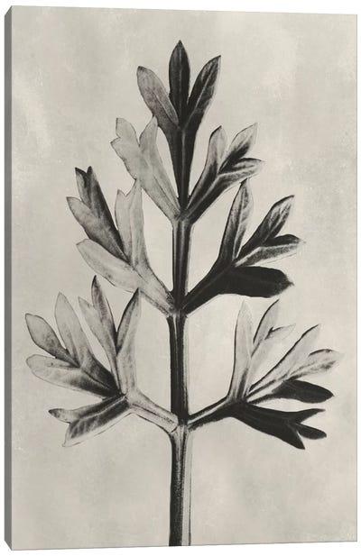 Blossfeldt Botanical I Canvas Art Print
