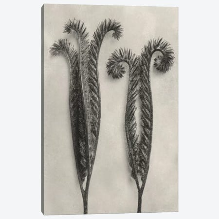 Blossfeldt Botanical II Canvas Print #BLS2} by Karl Blossfeldt Canvas Artwork