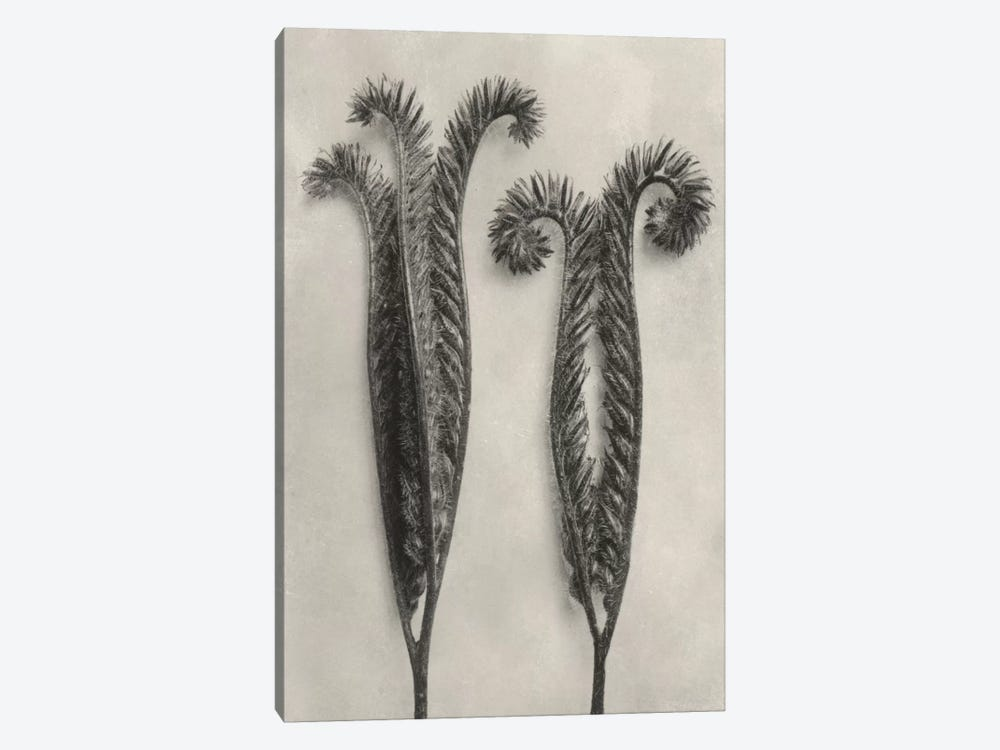 Blossfeldt Botanical II by Karl Blossfeldt 1-piece Canvas Art