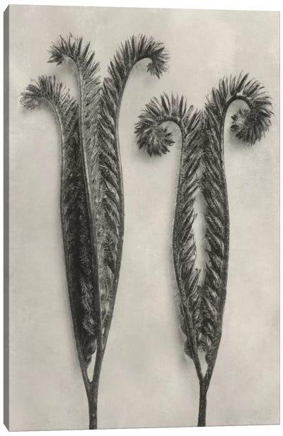 Blossfeldt Botanical II Canvas Art Print